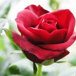 single red rose flowers 7